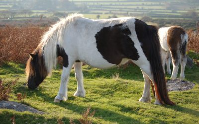 Exploring the history of ponies on Dartmoor – Burrator Discovery Centre