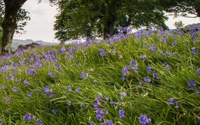 Okehampton Castle – Bluebell Sunday